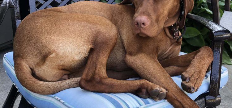 Brown Dog Sleeping
